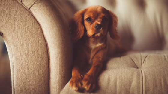 Pet damage to your home - dog on couch